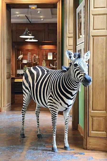 DEYROLLE_zebre