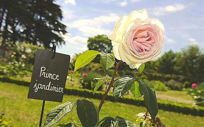LE_PRINCE_JARDINIER_rose